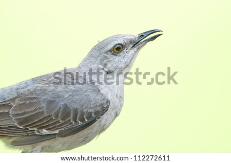 Northern Mockingbirds