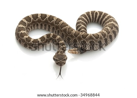 Northern Pacific Rattlesnake (Crotalus oreganus) isolated on white background. - stock photo