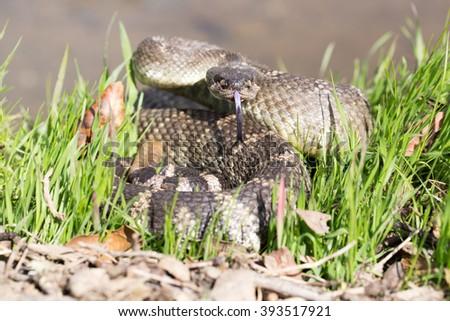 Northern Pacific Rattlesnake - Crotalus oreganus oreganus - stock photo