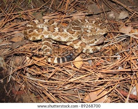 Northern Pacific Rattlesnake, Crotalus oreganus oreganus - stock photo