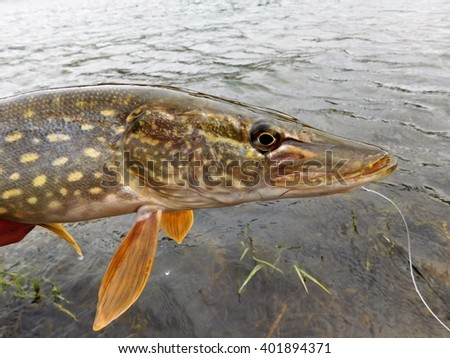 Northern Pike (Esox lucius) - stock photo