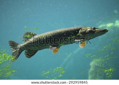 Northern pike (Esox lucius). Wildlife animal.  - stock photo