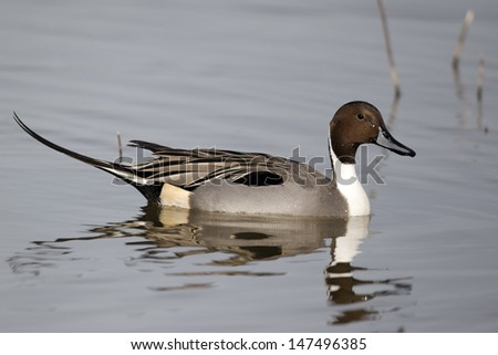 Northern pintail, Anas acuta, single male on water, Gloucestershire, March 2012                     - stock photo