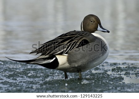 Northern Pintail standing in icy water. - stock photo