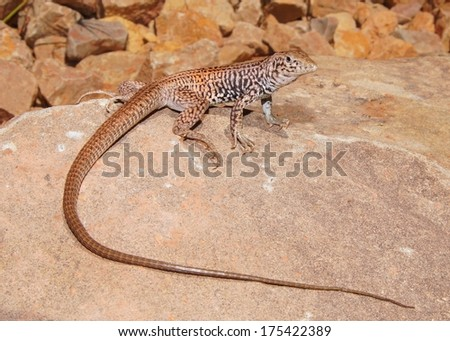 Northern (Plateau or Painted Desert) Whiptail Lizard, Aspidoscelis (Cnemidophorus) tigris septentrionalis - one of North America's fastest lizards - stock photo
