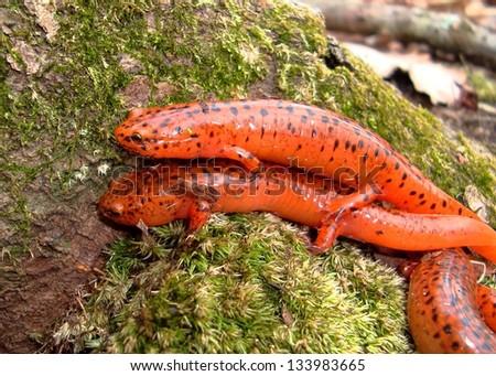 Northern Red Salamander, Pseudotriton ruber - stock photo
