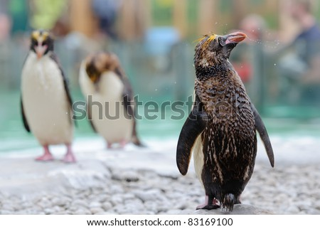 Northern Rockhopper Penguin shakes itself after swimming - stock photo