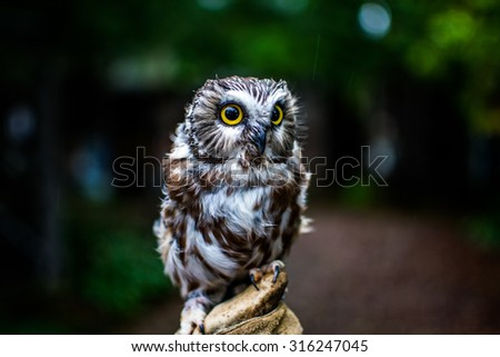 Northern Saw-Whet Owl - stock photo
