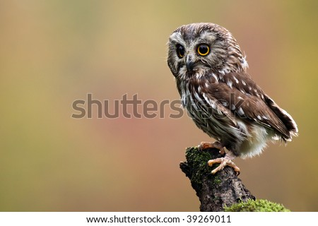 Northern Saw-Whet Owl against a blurred background. - stock photo