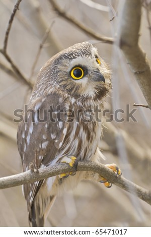 Northern Saw-whet owl, one of smallest owls, perching in the wild. Very close up, shallow depth of field. Sitting still, pretending he is not there. Latin name - Aegolius acadicus. - stock photo