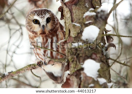 Northern Saw-Whet Owl perching in a tree. - stock photo