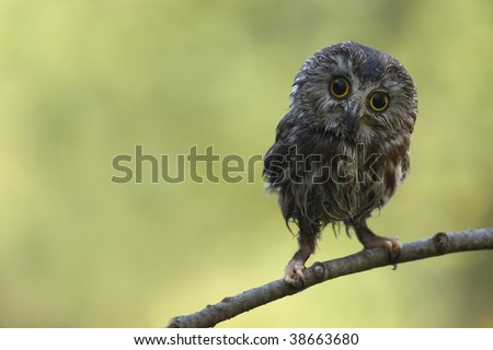 Northern Saw-Whet Owl perching on a branch against blurred background. - stock photo