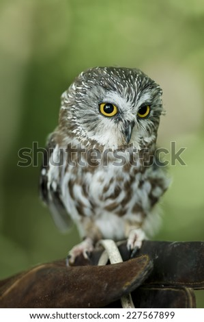 Northern Saw-Whet Owl perching on human hands - stock photo