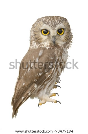 Northern Saw-whet owl. Very close up, shallow depth of field. Latin name - Aegolius acadicus. - stock photo