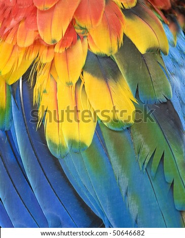 northern scarlet macaw feathers close up macro full frame , cancun, mexico, latin america. exotic bird parrot with vibrant colorful red yellow blue green feathers in tropical country