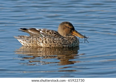 Northern Shoveler (Anas clypeata) Hen on blue water - stock photo