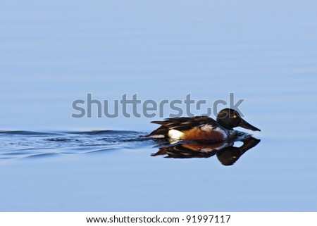 Northern Shoveler (Anas clypeata) swimming in blue water.