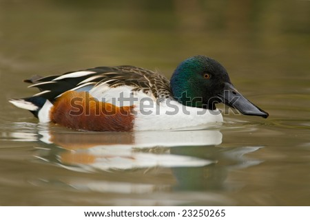 Northern Shoveler duck (Anas clypeata) swimming - stock photo