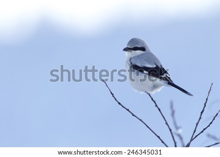Northern Shrike, a.k.a. the Butcher Bird, Lanius excubitor, Great Grey / Gray Shrike perched against a natural background of winter sky and snow; Pacific Northwest Bird & Wildlife Photography - stock photo