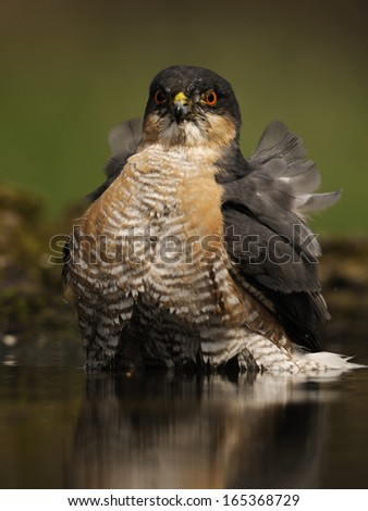 northern sparrowhawk ,Accipiter nisus, Germany