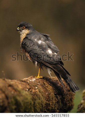 northern sparrowhawk, Accipiter nisus, Sperber, Germany