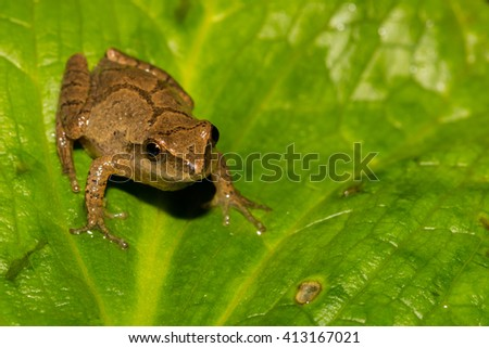 Northern Spring Peeper - stock photo