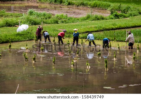 NORTHERN THAILAND, AUGUST 21: Local people plant a rice in nortehrn Thailand on August 21, 2013. Thailand is the world's second largest exporter of rice.