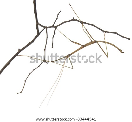 Northern Walking Stick (Diapheromera femorata) on a branch. Isolated on a white background - stock photo