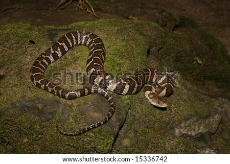 Northern Water Snake (Nerodia sipedon sipedon) - stock photo