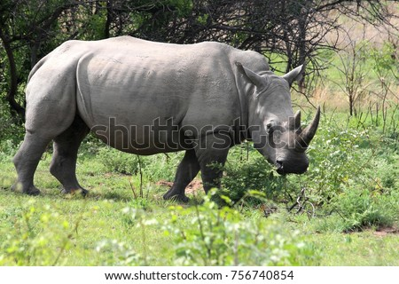 Northern White rhinoceros, Ceratotherium simum cottoni, Matopos National Park, Zimbabwe