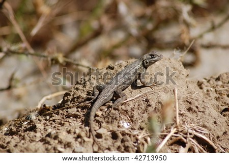 Northwestern Fence Lizard, California