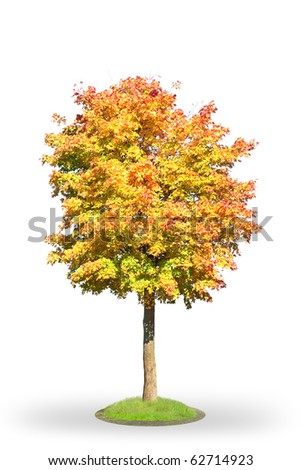 Norway maple in autumn. Isolated on white. - stock photo