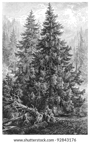 Norway Spruce (Picea excelsa) / vintage illustration from Meyers Konversations-Lexikon published in 1897 - stock photo