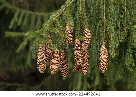 NORWAY SPRUCE PINE CONES - PICEA ABIES - stock photo