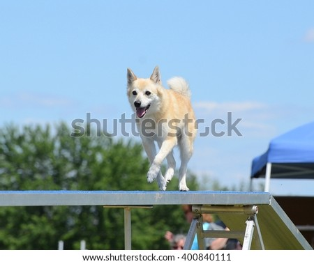 Norwegian Buhund Running on a Dog Walk at an Agility Trial - stock photo