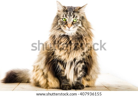 norwegian cat, long fur. Isolated on white with a wood floors in studio. - stock photo