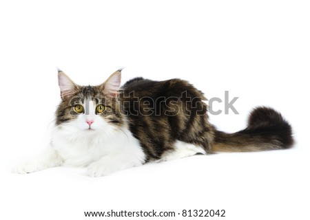 Norwegian fores cat in studio on a white background - stock photo