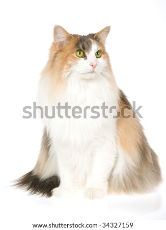 Norwegian Forest Cat calico, sitting, on white background - stock photo
