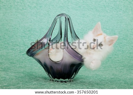 Norwegian Forest Cat kitten lying in purple glass vase on mint green background  - stock photo