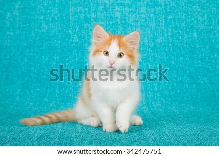 Norwegian Forest Cat kitten on blue background  - stock photo