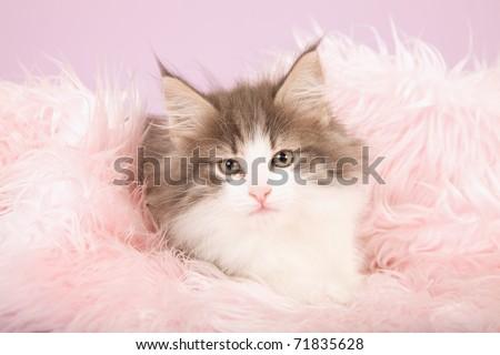 Norwegian Forest Cat kitten on pink fake fur - stock photo