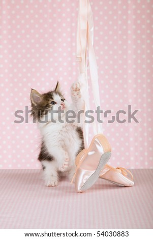 Norwegian Forest Cat kitten with ballet shoes on pink background - stock photo