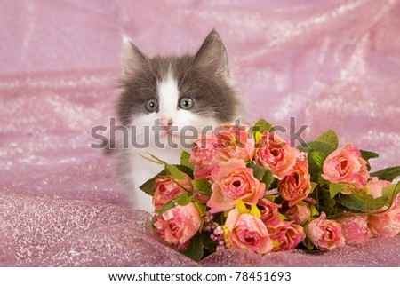 Norwegian Forest Cat kitten with red roses on pink background