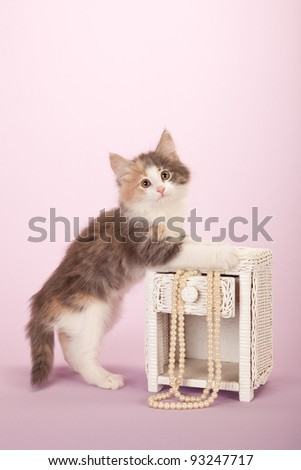 Norwegian Forest Cat kitten with string of pearls and miniature table on pink background