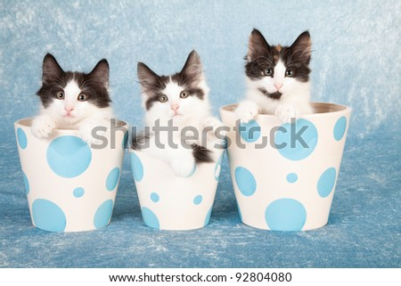 Norwegian Forest Cat kittens in blue polka dot pots background - stock photo
