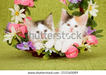 Norwegian Forest Cat kittens lying inside basket decorated with flowers on green background  - stock photo
