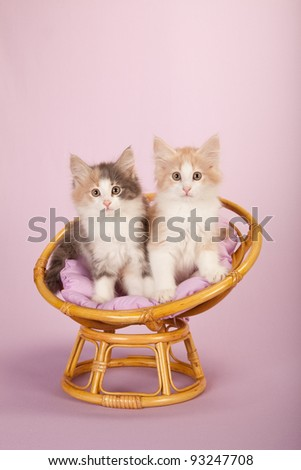 Norwegian Forest Cat kittens on miniature chair on pink background