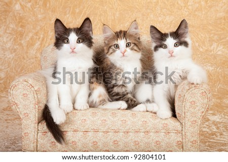 Norwegian Forest Cat kittens on miniature sofa on beige background - stock photo