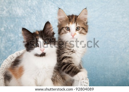 Norwegian Forest Cat kittens on miniature white chair on blue background