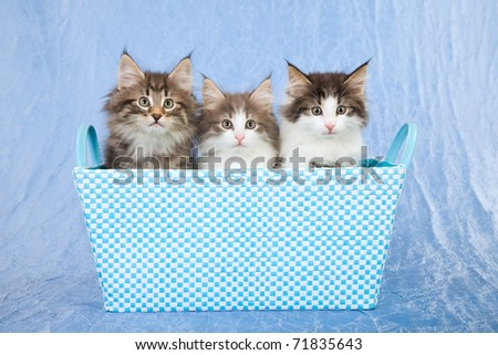 Norwegian Forest Cat kittens sitting inside blue basket - stock photo